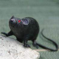 Cache Rat noir