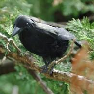 Cache Corbeau
