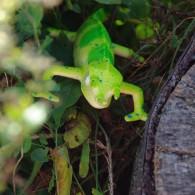 """Cache Reptile """"Caméléon"""""""